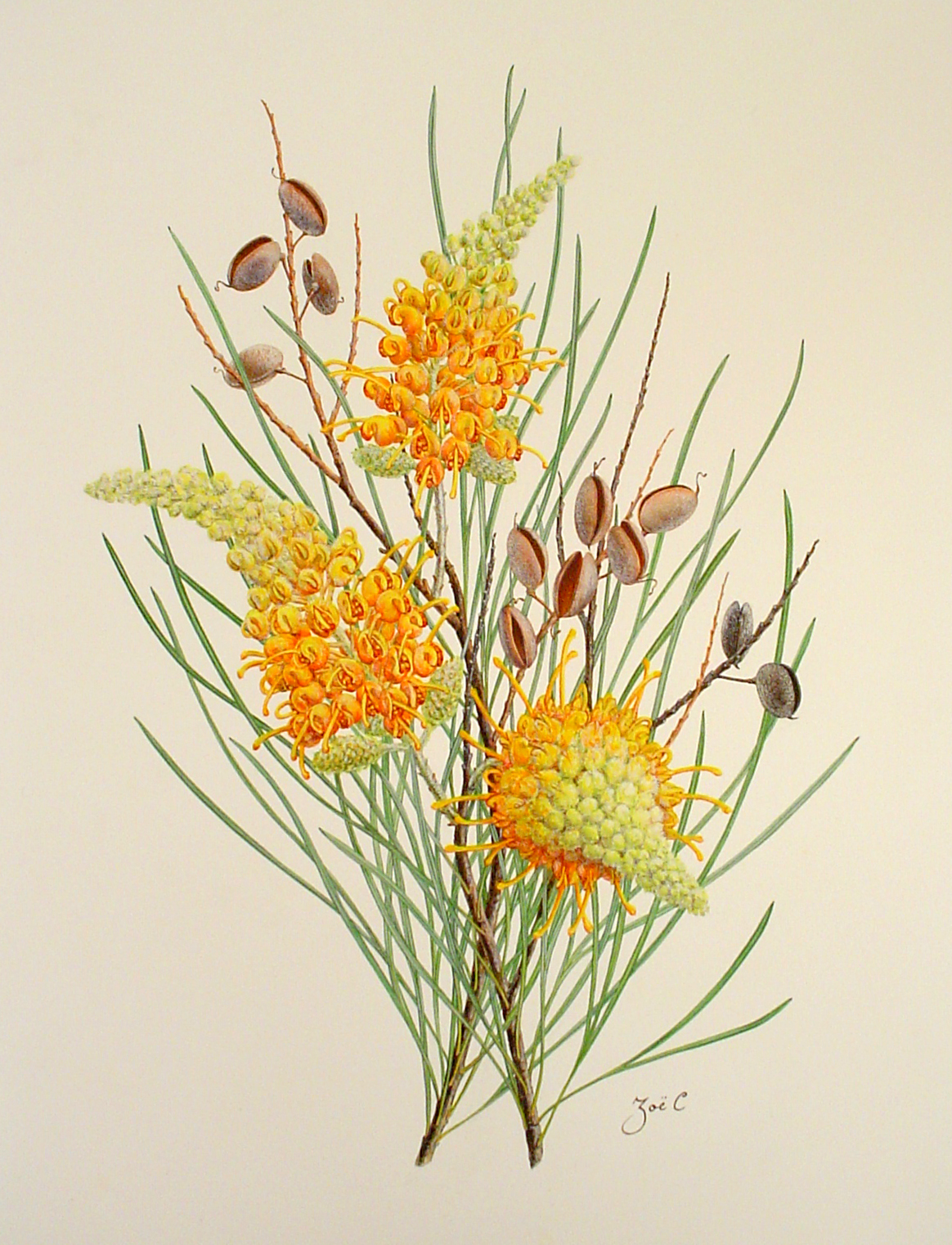 742-12910-grevillia-juncifolia-13-5x-17-5-2002